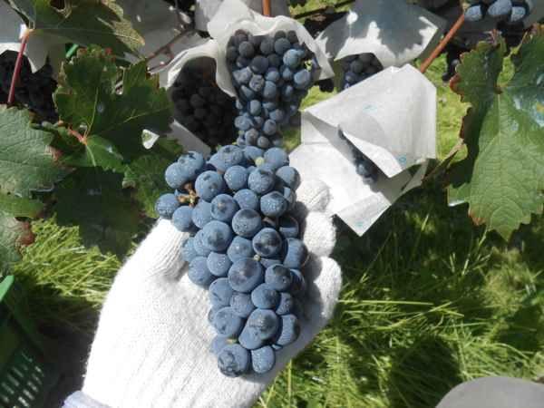 2日続けて収穫会。作業の後のワインは美味しい!_a0095931_15504742.jpg