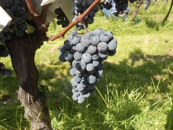 2日続けて収穫会。作業の後のワインは美味しい!_a0095931_15515266.jpg