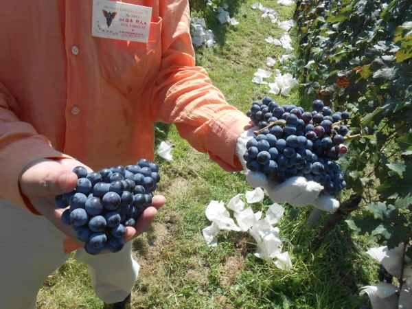 2日続けて収穫会。作業の後のワインは美味しい!_a0095931_15523593.jpg