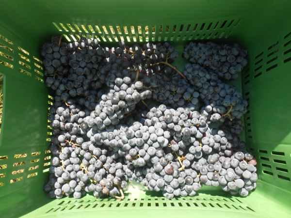 2日続けて収穫会。作業の後のワインは美味しい!_a0095931_15531597.jpg