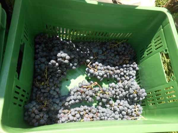 2日続けて収穫会。作業の後のワインは美味しい!_a0095931_15535181.jpg