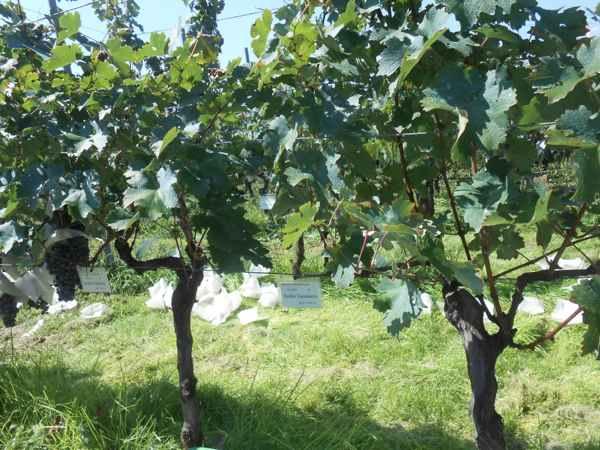 2日続けて収穫会。作業の後のワインは美味しい!_a0095931_15565020.jpg
