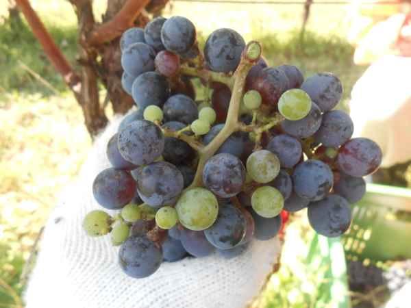 2日続けて収穫会。作業の後のワインは美味しい!_a0095931_1558406.jpg