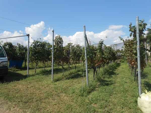 2日続けて収穫会。作業の後のワインは美味しい!_a0095931_1674667.jpg
