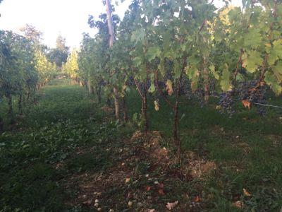 最後の葡萄の収穫とお客様_d0136540_7275826.jpg