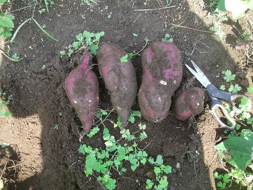 芋を掘って見ました。_b0137932_2037559.jpg