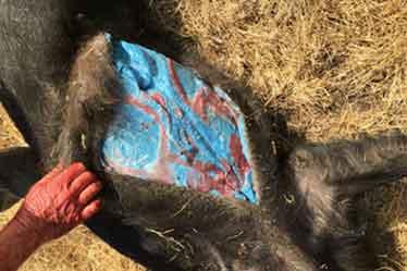 カリフォルニア『青い肉を持つ豚、発見されるっ!』/ 画像・Original Post_b0003330_8361015.jpg