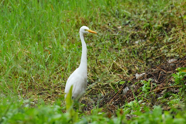 ★渡りの小鳥に出会えず・・・先週末の鳥類園(2015.9.26~27)_e0046474_1849759.jpg