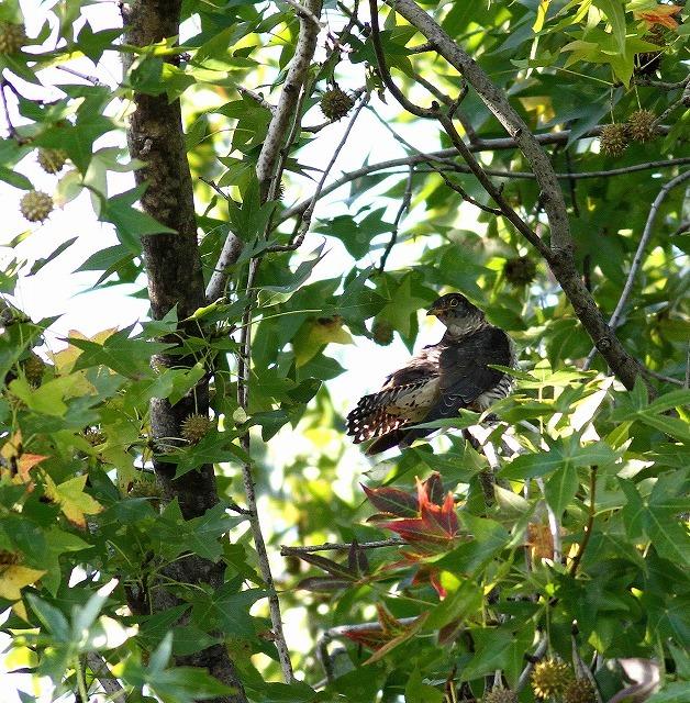秋色模様の中でツツドリを・・・_c0213607_00011358.jpg
