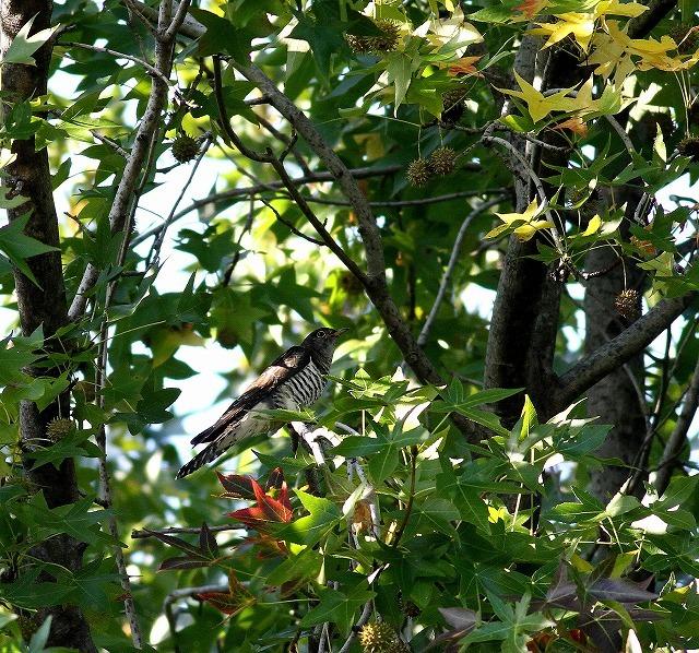 秋色模様の中でツツドリを・・・_c0213607_00013762.jpg
