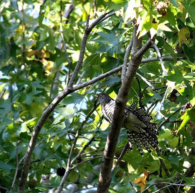 秋色模様の中でツツドリを・・・_c0213607_00020297.jpg