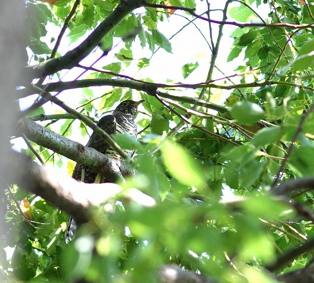 秋色模様の中でツツドリを・・・_c0213607_00022497.jpg