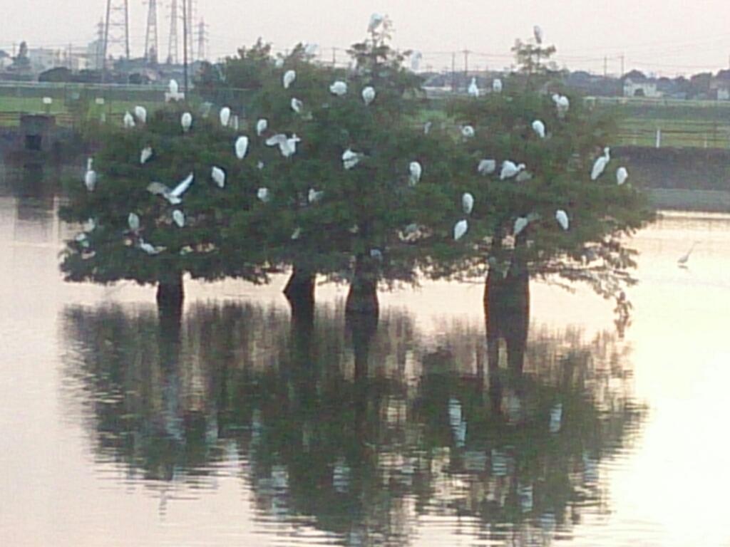 白鷺の木_f0323446_18264065.jpg