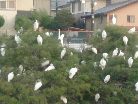 白鷺の木_f0323446_18264375.jpg