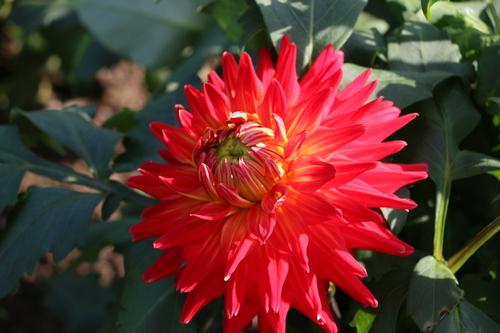 咲いてます!川西ダリヤ園・・・61_c0075701_7115681.jpg