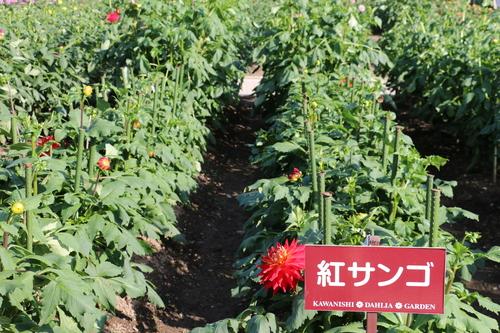 咲いてます!川西ダリヤ園・・・61_c0075701_712350.jpg