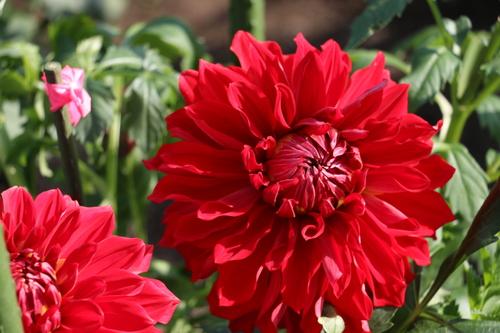 咲いてます!川西ダリヤ園・・・62_c0075701_714242.jpg