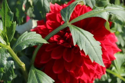 咲いてます!川西ダリヤ園・・・62_c0075701_7142789.jpg