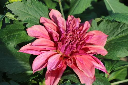 咲いてます!川西ダリヤ園・・・62_c0075701_7145150.jpg