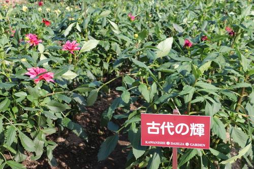 咲いてます!川西ダリヤ園・・・62_c0075701_7145692.jpg