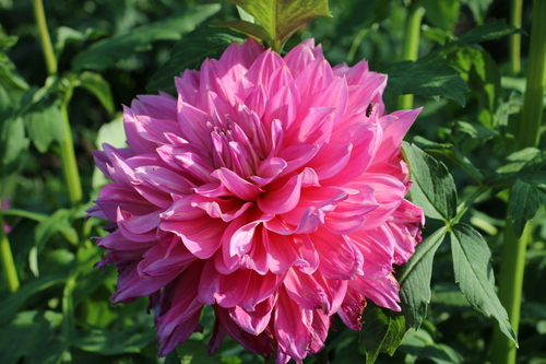 咲いてます!川西ダリヤ園・・・61_c0075701_79235.jpg
