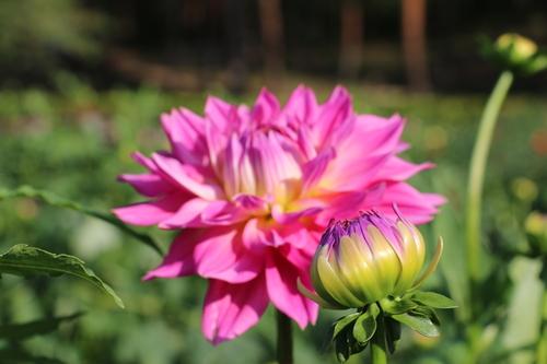 咲いてます!川西ダリヤ園・・・61_c0075701_794851.jpg