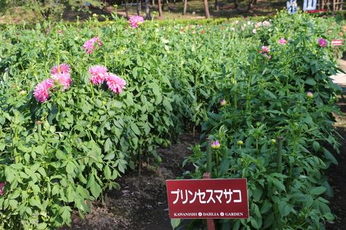 咲いてます!川西ダリヤ園・・・61_c0075701_795973.jpg