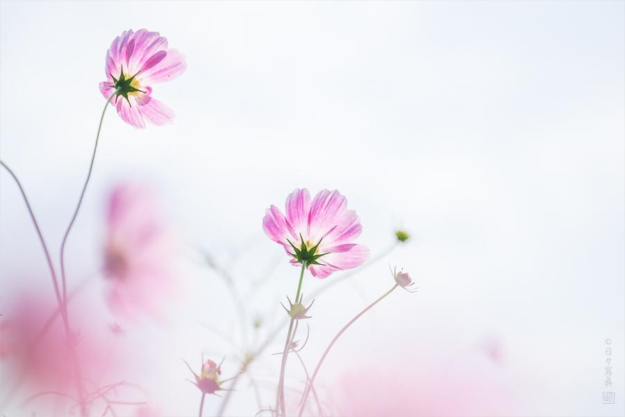 Pastel Dancer −秋桜 2015−_e0117517_174346.jpg