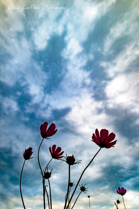 花のある風景 風の中のコスモス_b0133053_050849.jpg