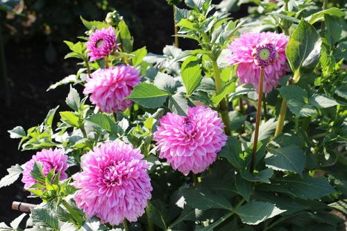 咲いてます!川西ダリヤ園・・・64_c0075701_6111440.jpg