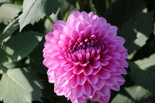 咲いてます!川西ダリヤ園・・・64_c0075701_6112087.jpg