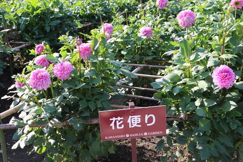 咲いてます!川西ダリヤ園・・・64_c0075701_6113022.jpg