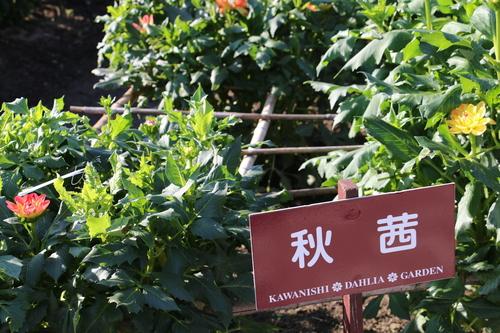 咲いてます!川西ダリヤ園・・・64_c0075701_611567.jpg