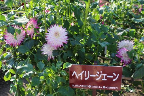 咲いてます!川西ダリヤ園・・・65_c0075701_618138.jpg