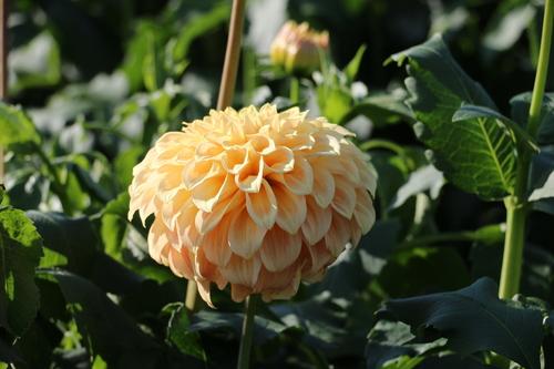 咲いてます!川西ダリヤ園・・・65_c0075701_6182181.jpg