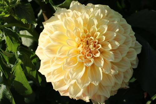 咲いてます!川西ダリヤ園・・・65_c0075701_6182838.jpg