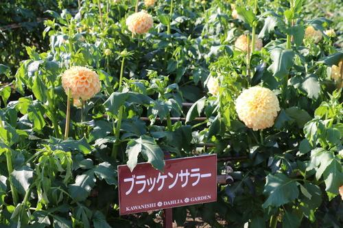 咲いてます!川西ダリヤ園・・・65_c0075701_6183733.jpg
