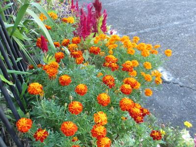 秋のマリーゴールド_e0150006_16481879.jpg