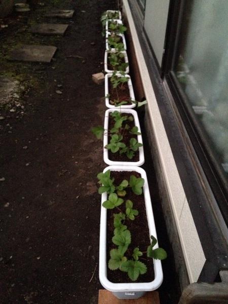 いちごのの苗を植えました_d0322040_21013709.jpg