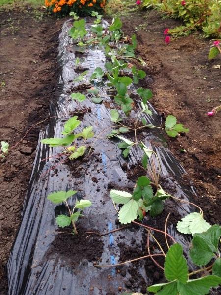 いちごのの苗を植えました_d0322040_21064325.jpg