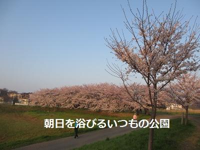 桜とあんひま_f0068501_221719100.jpg