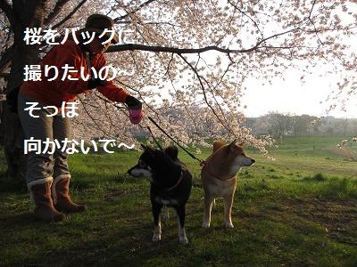 桜とあんひま_f0068501_22184550.jpg