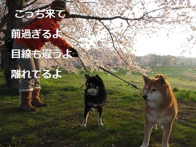 桜とあんひま_f0068501_22194823.jpg