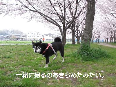 桜とあんひま_f0068501_22202790.jpg