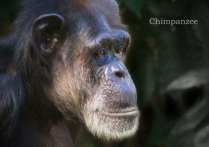 チンパンジー:Chimpanzee_b0249597_521213.jpg