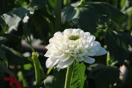 咲いてます!川西ダリヤ園・・・77_c0075701_724899.jpg