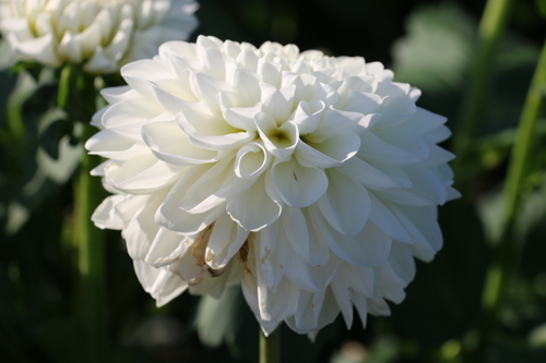 咲いてます!川西ダリヤ園・・・77_c0075701_725612.jpg