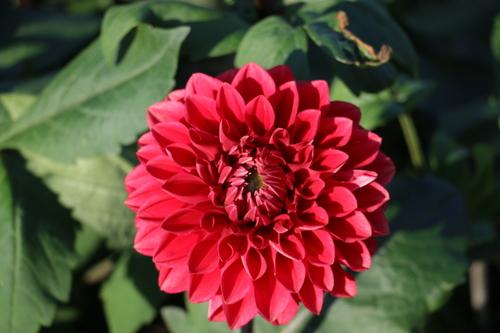 咲いてます!川西ダリヤ園・・・77_c0075701_731860.jpg