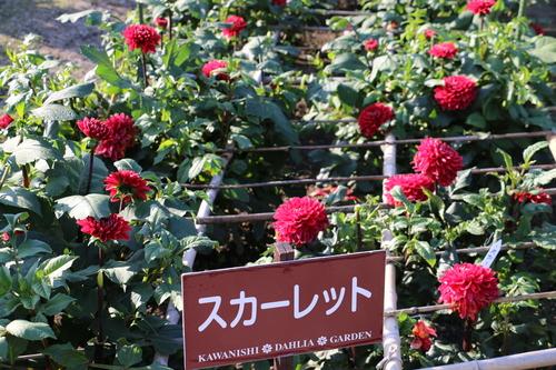 咲いてます!川西ダリヤ園・・・77_c0075701_732546.jpg