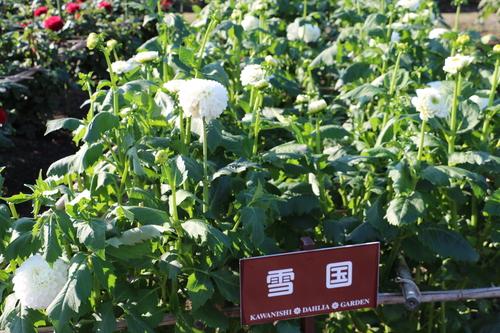 咲いてます!川西ダリヤ園・・・77_c0075701_73585.jpg